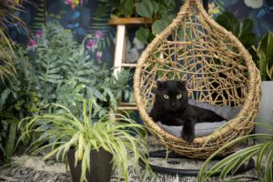a black scottish rex cat laying in a wicker swing amid plants and a dark floral backdrop