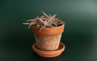 spiky succulent in a terra cotta pot, product photography sample