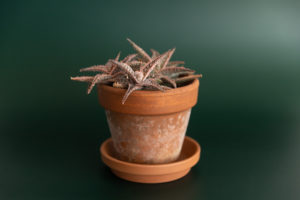 a spiny succulent in a terra cotta pot in front of a dark green seamless backdrop morgantown wv product photography